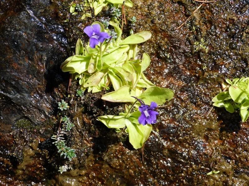 Plantules P. grandiflora périssant les unes apres les autres ... P1020912