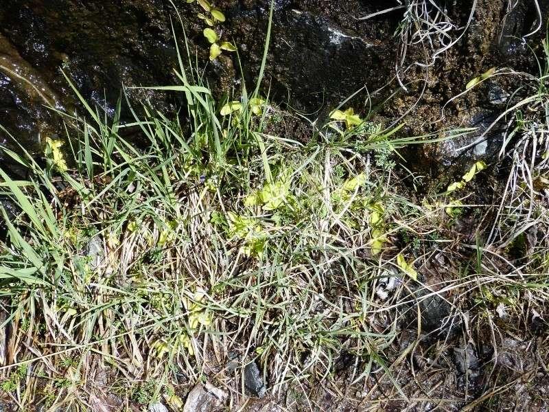 Plantules P. grandiflora périssant les unes apres les autres ... P1020913