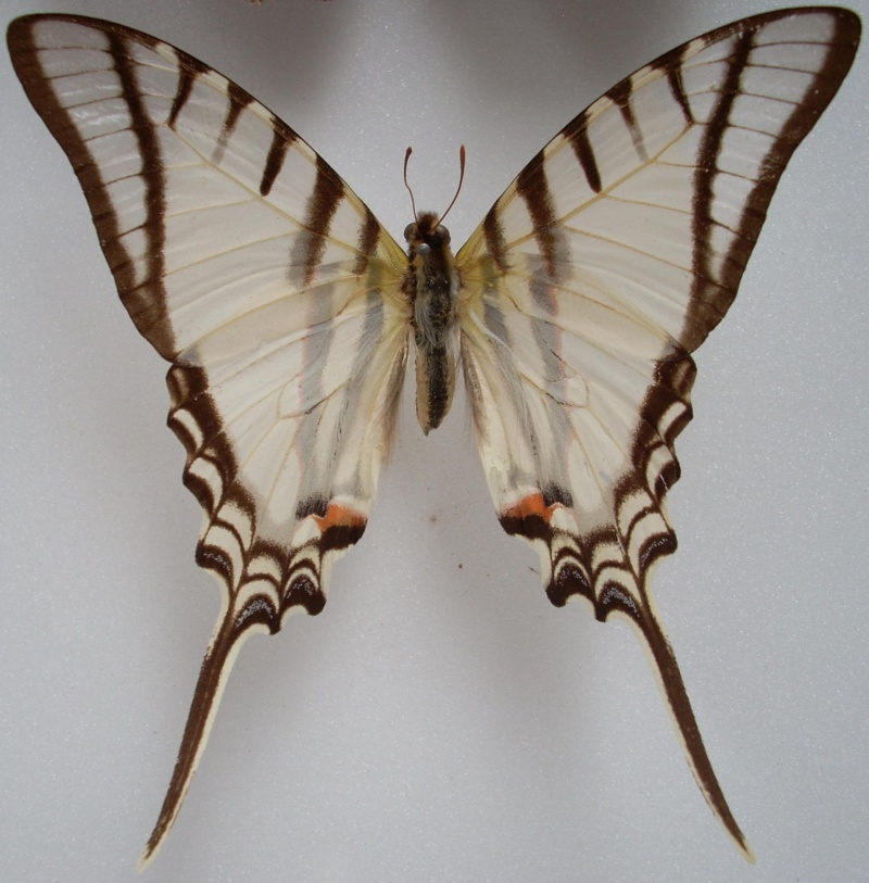 Identification de papillon Pour_i10