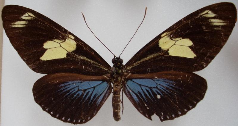 Identification de papillon Pour_i11