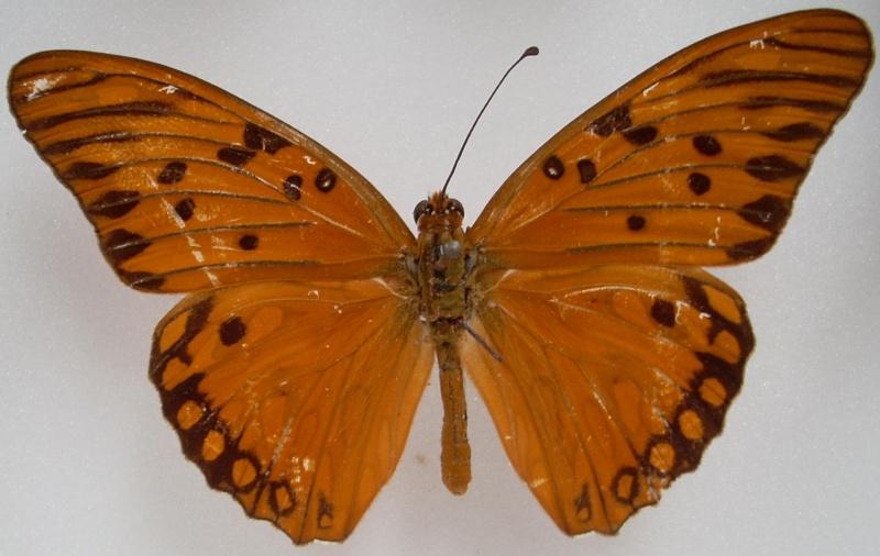 Identification de papillon Pour_i12