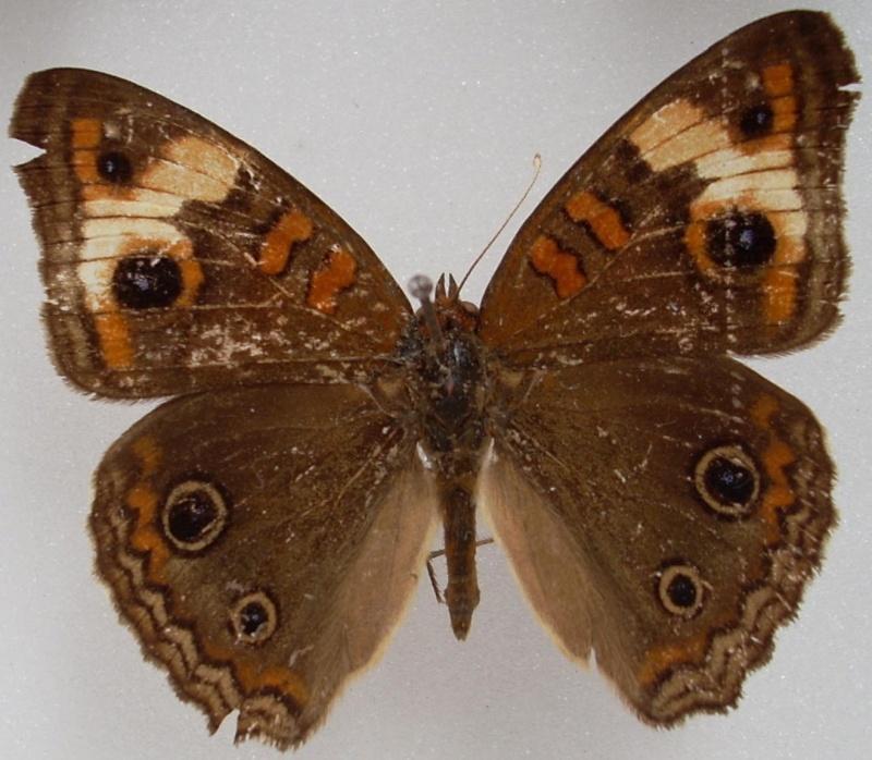 Identification de papillon Pour_i13
