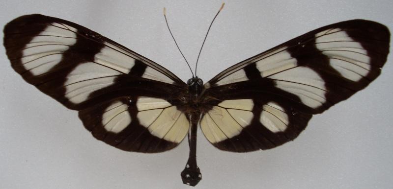 Identification de papillon Pour_i14