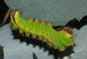 Antheraea mylitta (Drury, 1773) 10_ant10