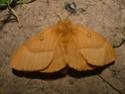 Lasiocampa quercus (Linné, 1758) 10_las10
