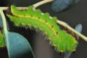 Antheraea mylitta (Drury, 1773) 11_ant10