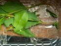 Brahmaea hearseyi White 11_bra10