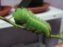 Antheraea mylitta (Drury, 1773) 12_ant10