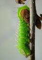 Antheraea polyphemus (Cramer, 1775) 13_ant12