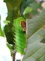 Antheraea polyphemus (Cramer, 1775) 14_ant12