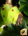 Antheraea mylitta (Drury, 1773) 15_ant10
