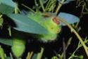 Antheraea mylitta (Drury, 1773) 16_ant10