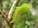 Antheraea mylitta (Drury, 1773) 17_ant10