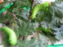 Antheraea pernyi (Guérin-Méneville, 1855) 17_ant11