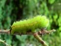 Antheraea mylitta (Drury, 1773) 18_ant10