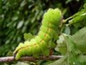 Antheraea mylitta (Drury, 1773) 19_ant10
