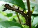 Citheronia jordani (Draudt, 1930) 1_cith11