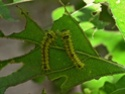 Antheraea mylitta (Drury, 1773) 1a_ant11