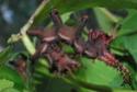 Citheronia regalis (Fabricius, 1793) 21_cit10