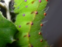 Antheraea mylitta (Drury, 1773) 22_ant10