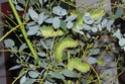 Antheraea mylitta (Drury, 1773) 22a_an10