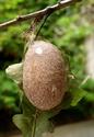 Antheraea mylitta (Drury, 1773) 22b_an10