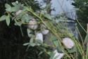 Antheraea mylitta (Drury, 1773) 23_ant10