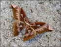 Rothschildia aurota (Cramer, 1775) 26_rot10