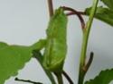 Rhodinia newara (Moo, 1872) 2_rhod10