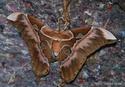 Rothschildia aurota (Cramer, 1775) 33_rot10