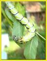 Brahmaea hearseyi White 34_bra10