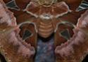 Rothschildia aurota (Cramer, 1775) 36_rot10
