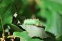 Antheraea polyphemus (Cramer, 1775) 3_anth12