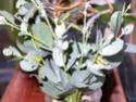 Antheraea mylitta (Drury, 1773) 3a_ant10