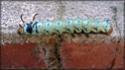 Citheronia regalis (Fabricius, 1793) 42_cit10