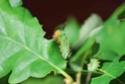 Antheraea polyphemus (Cramer, 1775) 4_anth12
