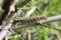 Lasiocampa quercus (Linné, 1758) 4_lasi10
