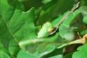 Antheraea polyphemus (Cramer, 1775) 5_anth12