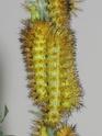 Automeris iris (Walker, 1865) 5_auto12
