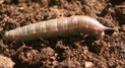 Hemaris croatica (Esper, 1779) 5_hyma10