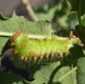 Antheraea polyphemus (Cramer, 1775) 5c_ant10