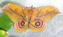 Antherina suraka (Boisduval, 1883) 66_ant10