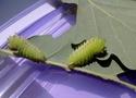 Antheraea polyphemus (Cramer, 1775) 6_anth12