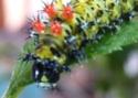 Hyalophora cecropia (Linné, 1758) 6_hyal10