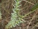 Hyles euphorbiae (Linné, 1758) 6_hyle10