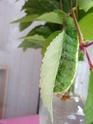 Rhodinia newara (Moo, 1872) 6_rhod10