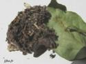 Lasiocampa quercus (Linné, 1758) 7_lasi10