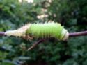 Antheraea polyphemus (Cramer, 1775) 7a_ant11