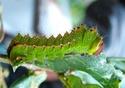 Antheraea mylitta (Drury, 1773) 9_anth10