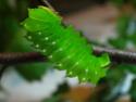 Antheraea polyphemus (Cramer, 1775) 9_anth13